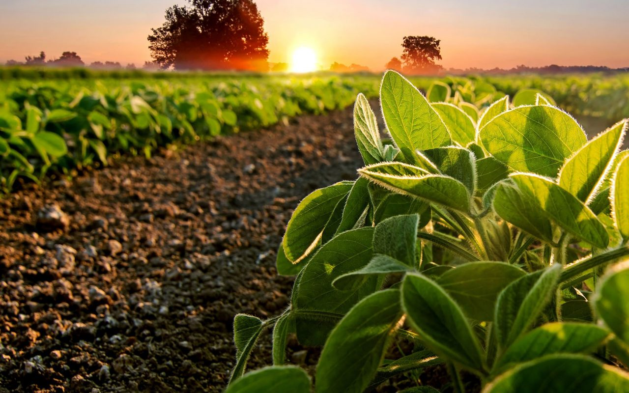 Background Template 0002 Soybeans